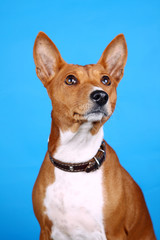 Basenji-dog on the blue background