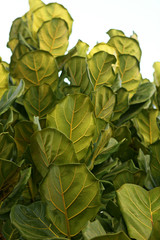 Leaves of Ficus lyrata.