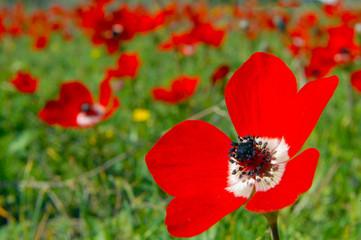 Anemone Poppy Flowers