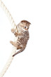 Scottish fold kitten climbing on rope isolated on  white backgro