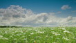 Blooming Summer Landscape, Yarrow Field, Wide shot