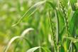 épis de blé vert