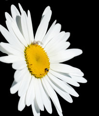 chamomile flower isolated on black background