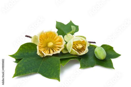 Aluminium Magnolia Tulipier