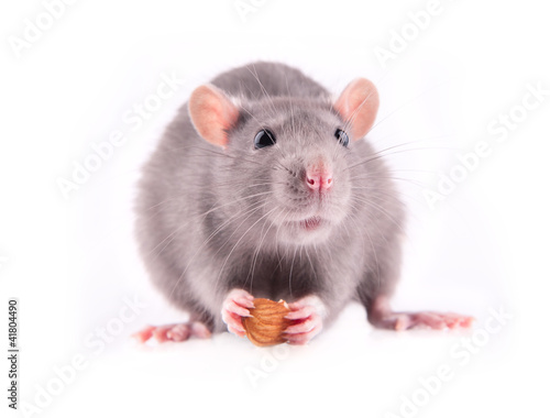 Rat eating almonds
