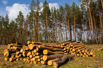 heap of pine tree trunks on a forest glade