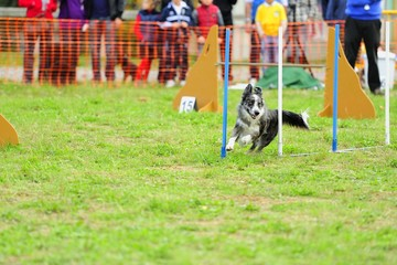 Border Collie in Agility Test