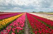 pink, red and orange tulip field