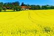 Gelbes Rapsfeld im Frühling