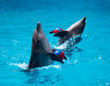 Two dolphins frolic in the blue water with balls