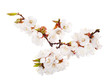 lot of white cherry-tree flowers on branch