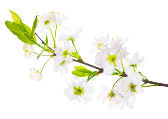 spring cherry tree white flowers branch