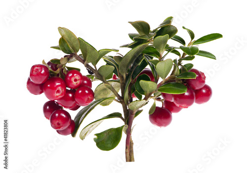 bright red isolated cowberry branch