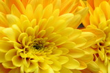 Close up of yellow flower aster, daisy