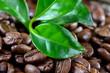 Duftende Kaffeeröstung mit Blätter einer Kaffepflanze