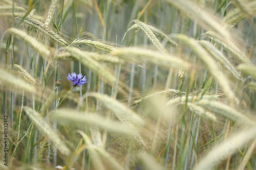 cornflowers and grain