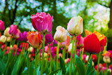 Fototapety Colorful tulip flowers in spring park, garden