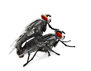 Mating flyes