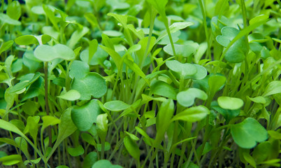 Tender micro greens sprouting