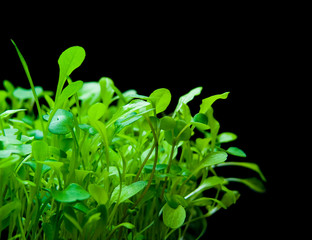 Tender micro greens on black