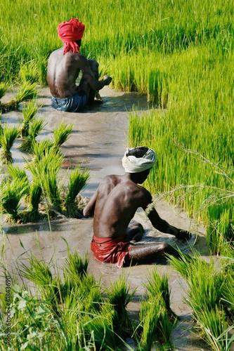 Arbeiter auf Reisfeld / Kerala, Südindien