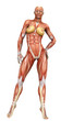 muscle woman front  view
