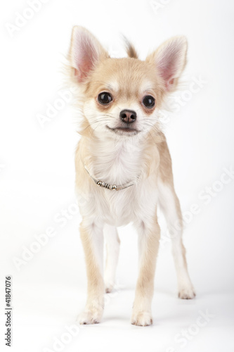 young chihuahua dog with silver collar