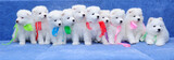 Ten fluffy Samoyed (or Bjelkier) puppies with colored ribbons