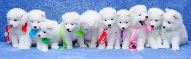 10 fluffy Russian Samoyed (or Bjelkier) puppies sitting in a row