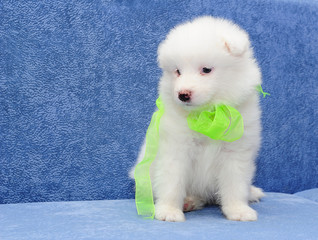 Cute Samoyed (or Bjelkier) puppy