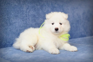 Puppy of Samoyed dog (or Bjelkier) with a bright lemon ribbon
