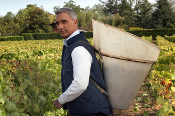A middle age man harvesting grapes.