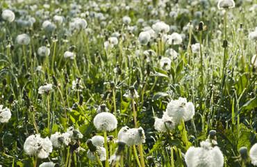 Pusteblumenwiese im Morgentau und Gegenlicht