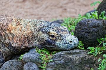 Komodo dragon, Varanus komodoensis, Indonesia