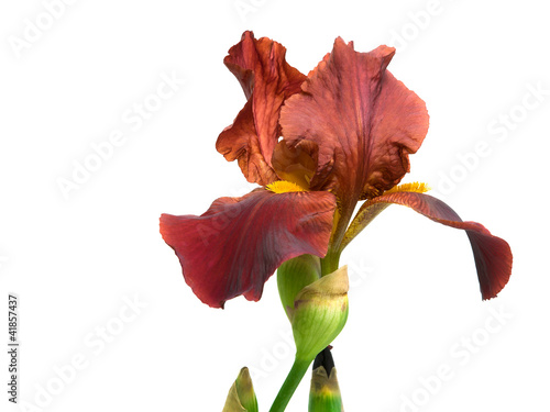 iris flower on a white background