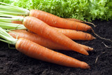 carrots organic in the garden