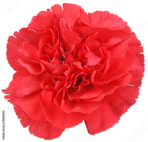 Red Carnation flower on white