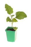 Eggplant seedling ready for transplanting poster