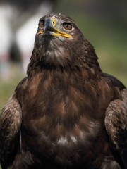 The Golden Eagle (Aquila chrysaetos) - portrait.