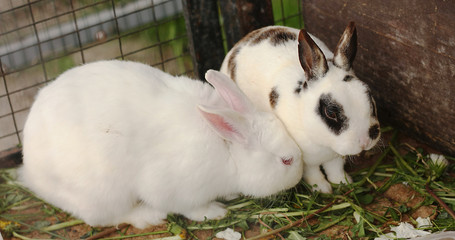Funny rabbit couple