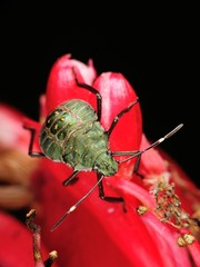 Stinkbug on red flower