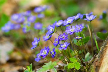 Blue flowers of Hepatica Nobilis close-up (Common Hepatica, live