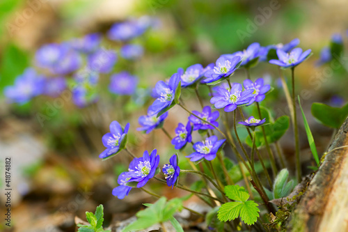 Blue flowers of Hepatica Nobilis close-up (Common Hepatica, live