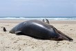 Dead dolphin washed up on a french beach