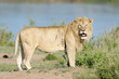 Male Lion standing on river edge.