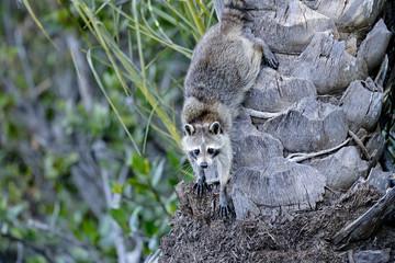 procyon lotor, raccoon