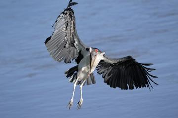 Marabou Stork flying.