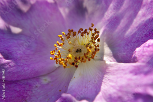 close up wild rose