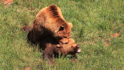 osos 1