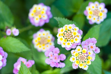 Closeup of Lantana camara pink-yellow flowers